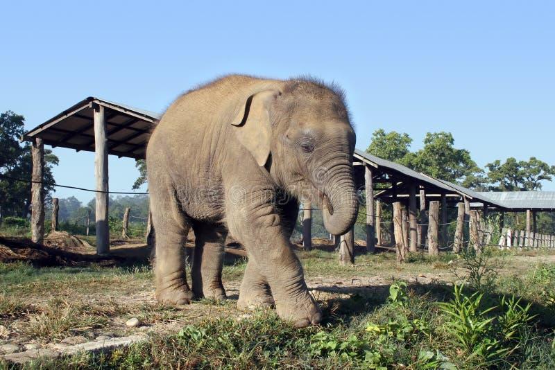 behandla som ett barn elefanten nepal arkivfoto