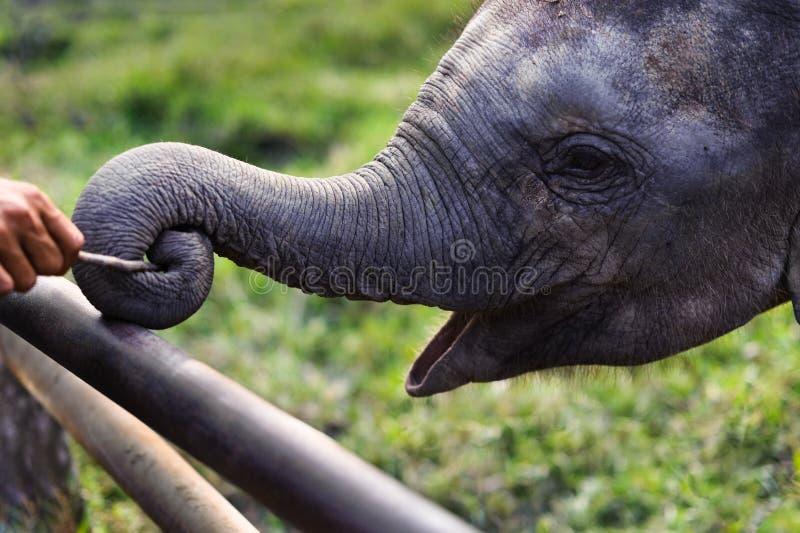 Behandla som ett barn elefanten som spelar pinnen med stammen på den Chitwan nationalparken Nepal royaltyfri bild