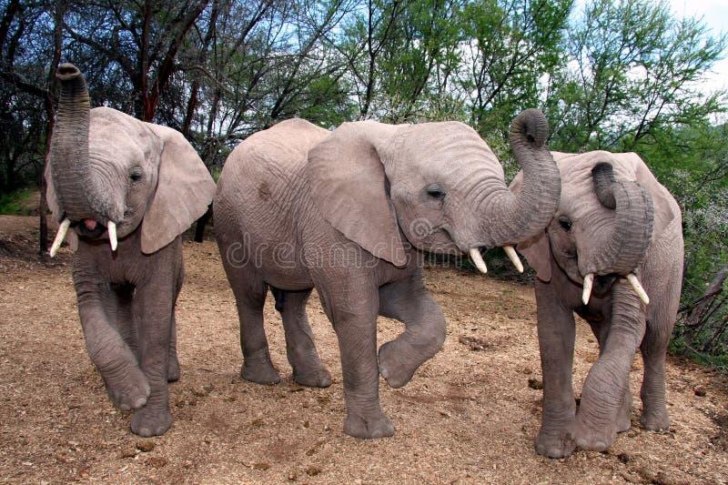 behandla som ett barn elefanter arkivfoton