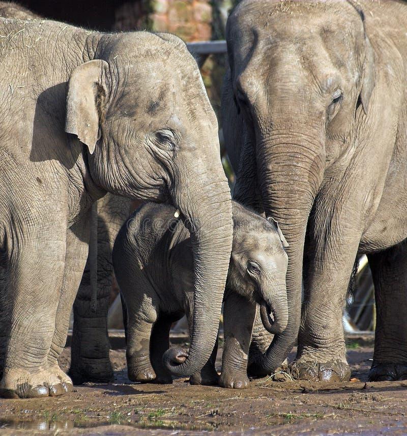 behandla som ett barn elefantfamiljen royaltyfria foton