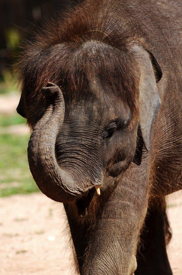 behandla som ett barn elefantkohsamuien thailand royaltyfria foton