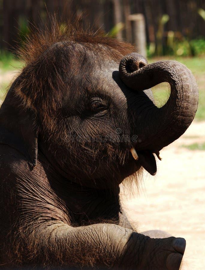 behandla som ett barn elefantkohsamuien thailand arkivbilder
