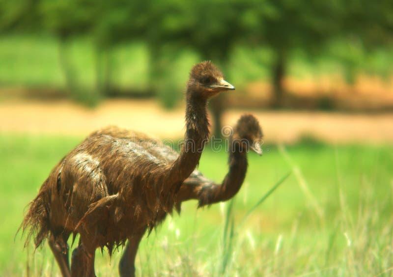 behandla som ett barn emuen fotografering för bildbyråer