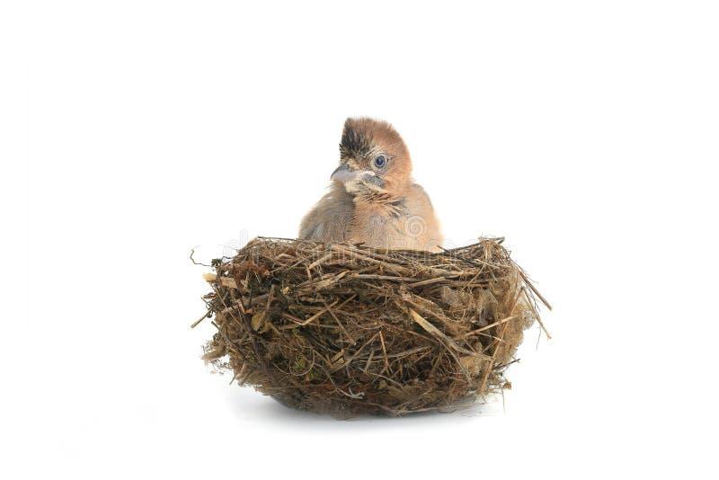 Behandla som ett barn fågelnötskrikan royaltyfri bild