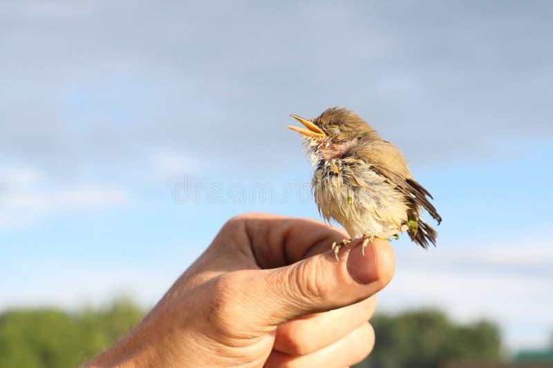 Behandla som ett barn fågeln av en trast i ett andmatsammanträde på ett finger royaltyfri bild