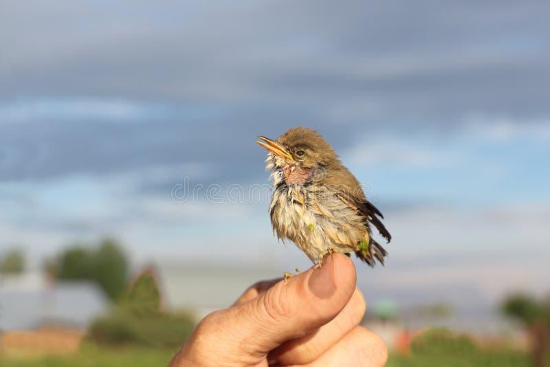 Behandla som ett barn fågeln av en trast i ett andmatsammanträde på ett finger royaltyfria foton
