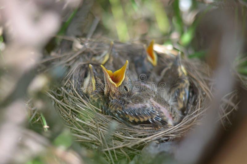 Behandla som ett barn fågeln av sångtrasten som frågar för mat fotografering för bildbyråer