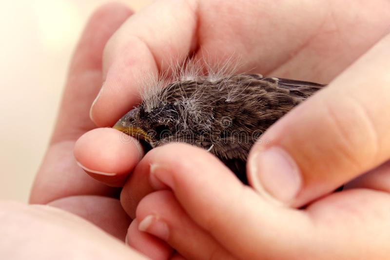 Behandla som ett barn fågeln i hand royaltyfri foto