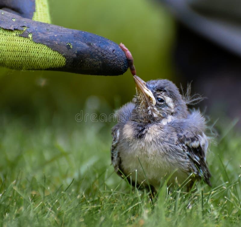 Behandla som ett barn fågeln som matar på, avmaskar arkivbild