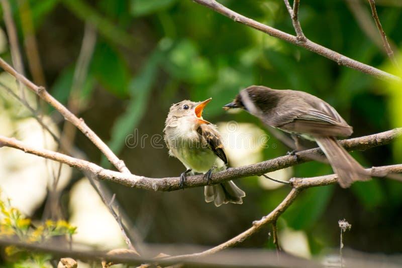 Behandla som ett barn fågeln som väntar för att matas arkivbild