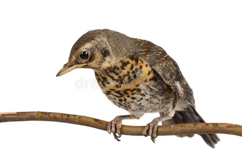 Behandla som ett barn fågeltrastfieldfaren som sitter på en filial royaltyfri fotografi
