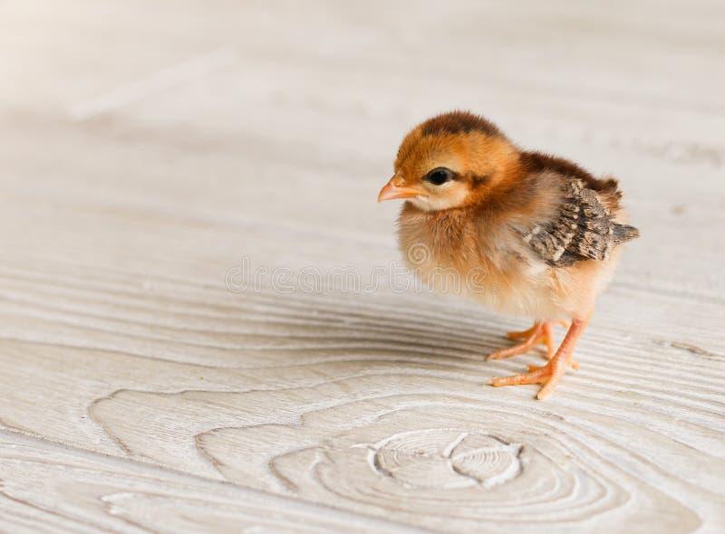Behandla som ett barn fågelungen arkivbilder