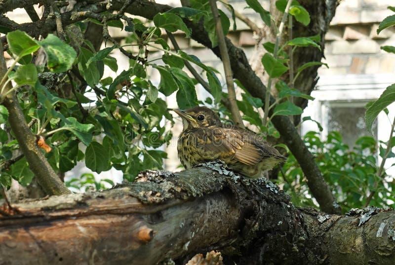 Behandla som ett barn fågelungetrasten som sitter på ett träd fotografering för bildbyråer