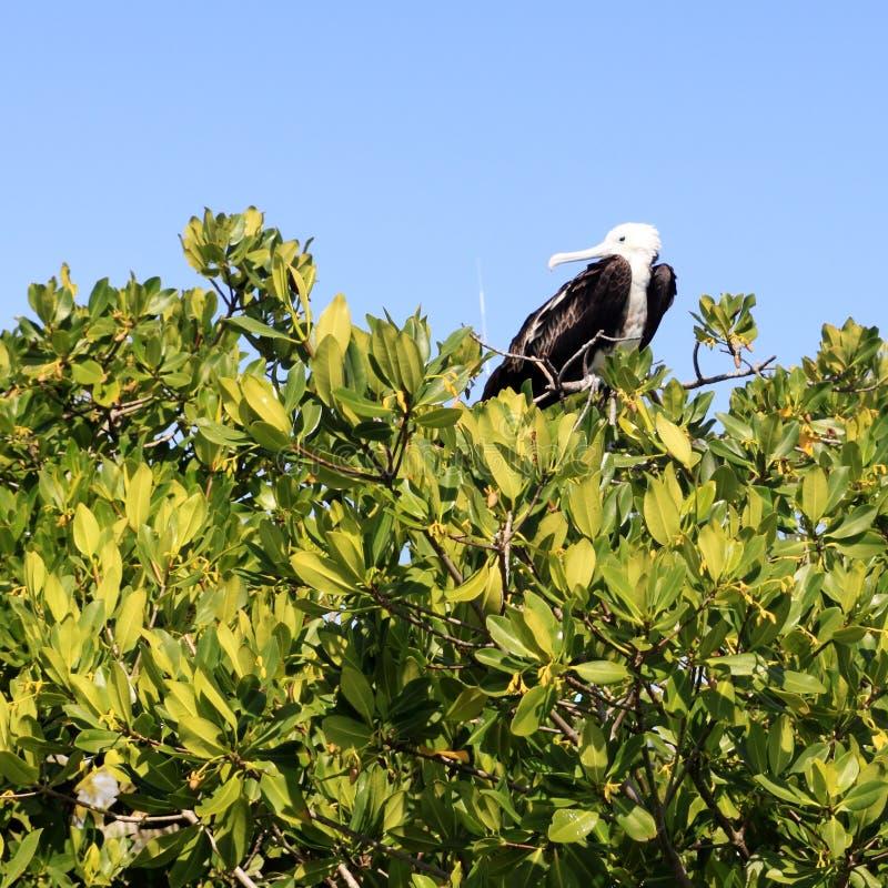 behandla som ett barn för frigateön för fågeln den contoy mangroven royaltyfri bild