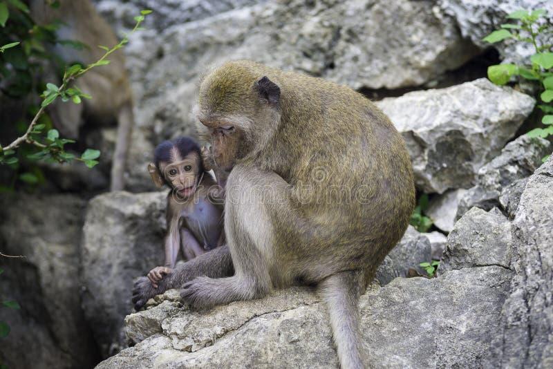 behandla som ett barn familjen ansar henne macaqueapamodern royaltyfri foto