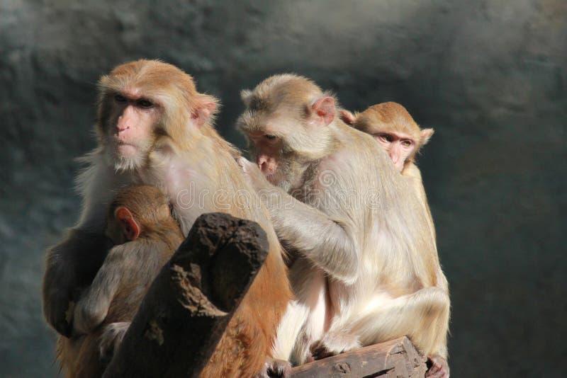 behandla som ett barn familjen ansar henne macaqueapamodern royaltyfria foton