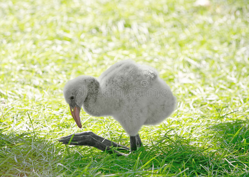 behandla som ett barn flamingoen royaltyfria foton