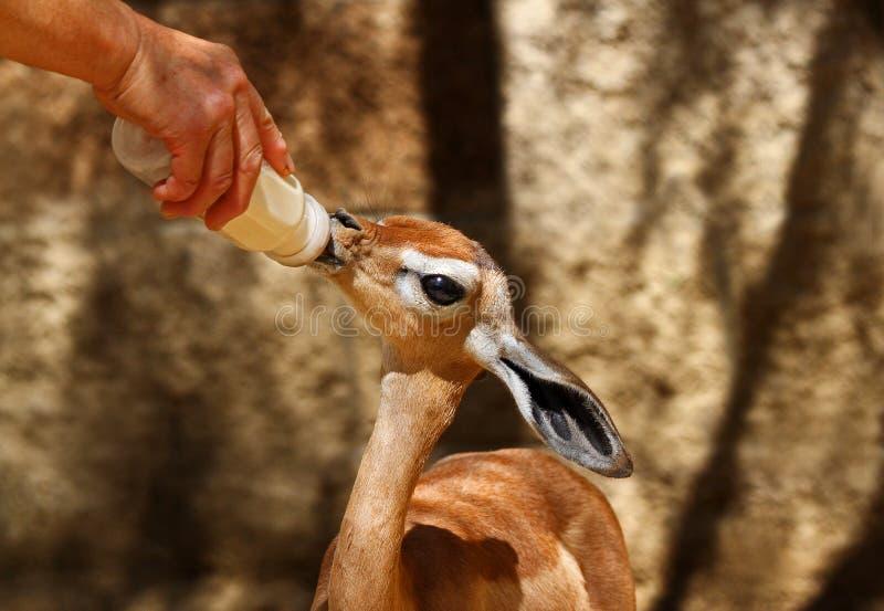 Behandla som ett barn Gerenuk royaltyfria foton