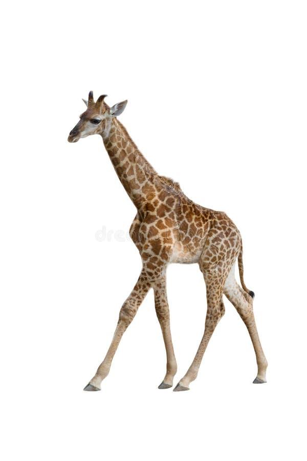 Behandla som ett barn giraffet royaltyfria foton