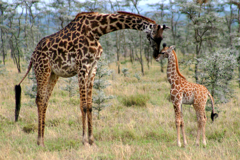 behandla som ett barn giraffmomen royaltyfri foto