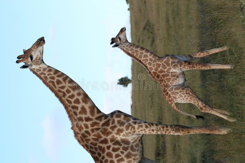 behandla som ett barn giraffmomen arkivfoton