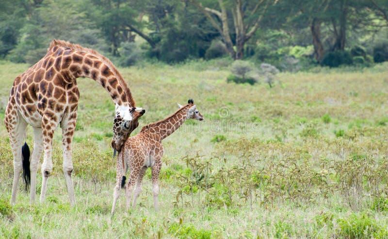 behandla som ett barn giraffmomen arkivbild