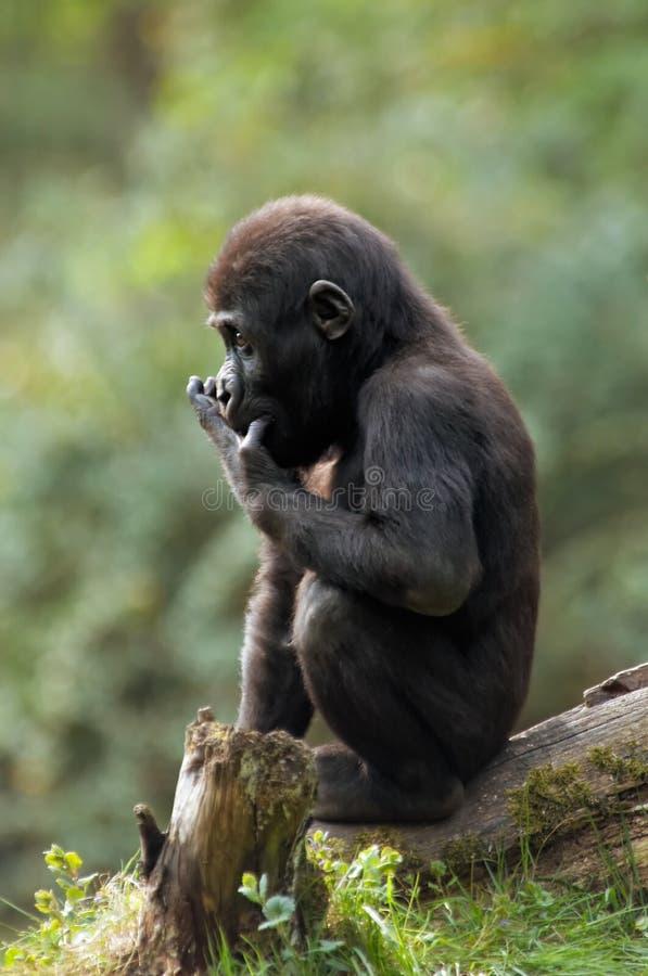 behandla som ett barn gorillan royaltyfri bild