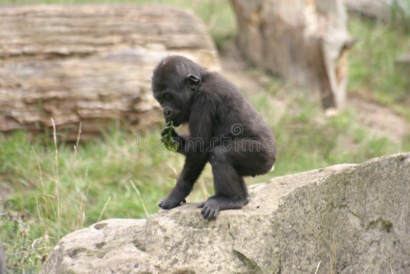 behandla som ett barn gorillan royaltyfri fotografi