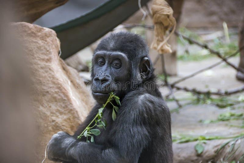 Behandla som ett barn gorillan i ZOO arkivfoton