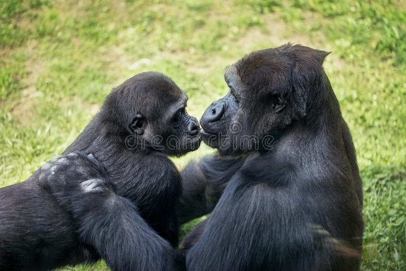 Behandla som ett barn gorillan med modern royaltyfri foto
