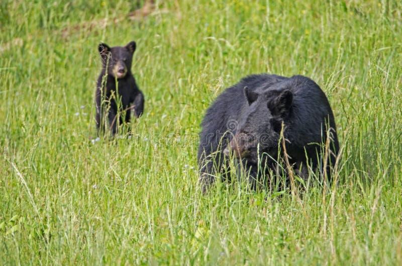 Behandla som ett barn gröngölingen för den svarta björnen står upp i ett fält av gräs royaltyfria foton