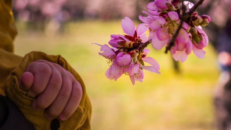 Behandla som ett barn handen trycker på blomma rosa blommor för mandelträdet arkivbilder