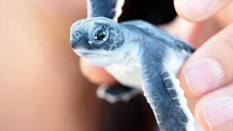 Behandla som ett barn havssköldpaddan royaltyfri bild