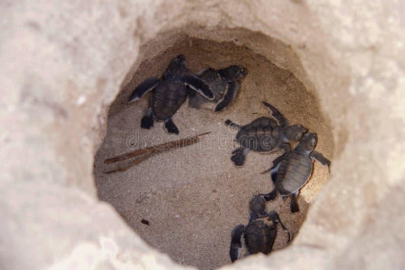 Behandla som ett barn havssköldpaddan som kläcker i sanden royaltyfria bilder
