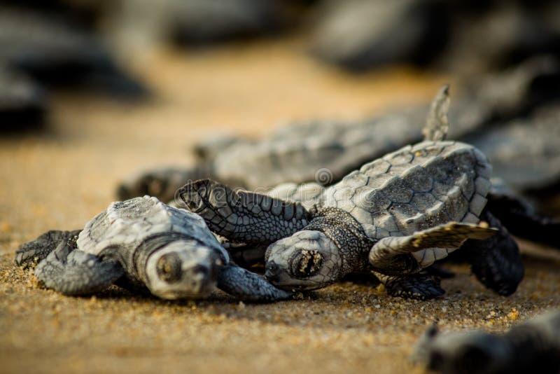 Behandla som ett barn havssköldpaddor kämpar för överlevnad, når du har kläckt i Mexico royaltyfria foton