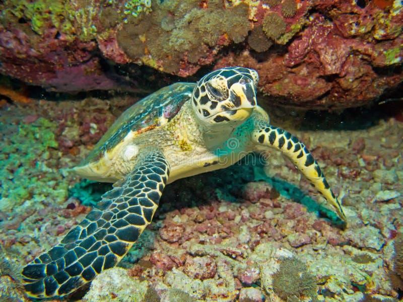 Behandla som ett barn hawksbillsköldpaddan royaltyfria bilder