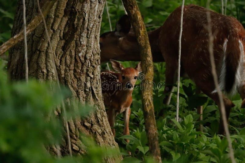 Behandla som ett barn hjortar som håller ögonen på från trädlinjen royaltyfri foto