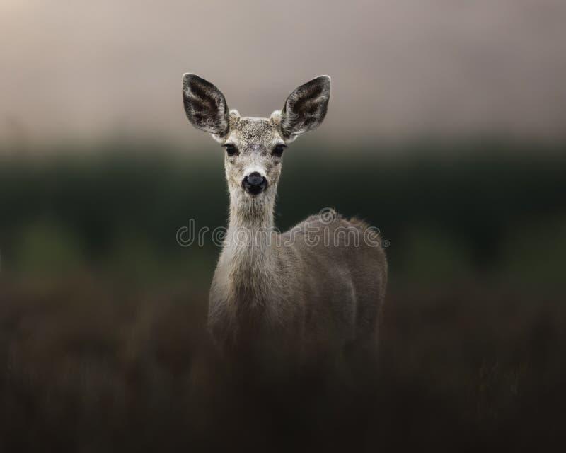 Behandla som ett barn hjortar som nyfiket stirrar på kameran, medan irra till och med en daggig äng arkivfoto