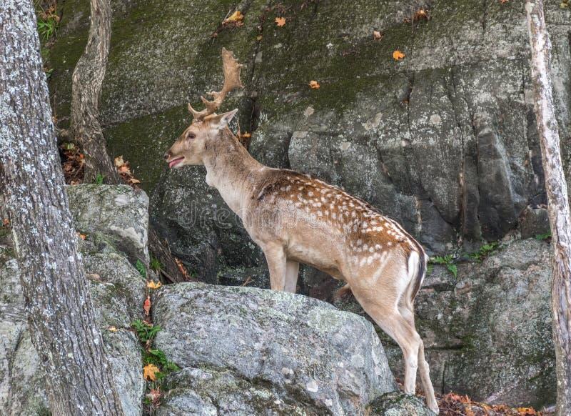 Behandla som ett barn hjortar vaggar klättring och ut-av-andedräkt royaltyfri foto