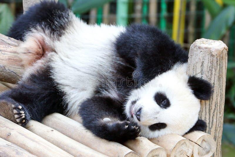 Behandla som ett barn jätten Panda Bear arkivfoton