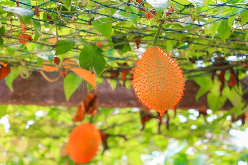Behandla som ett barn jackfruiten, söt kalebass i trädgård royaltyfri fotografi