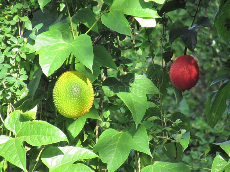 Behandla som ett barn jackfruitMomordicacochinchinensisen, eller Gac frukt är mycket arkivbilder
