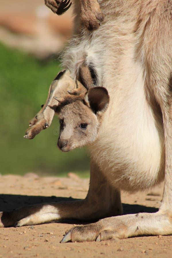 Behandla som ett barn känguruunge i påse arkivfoto