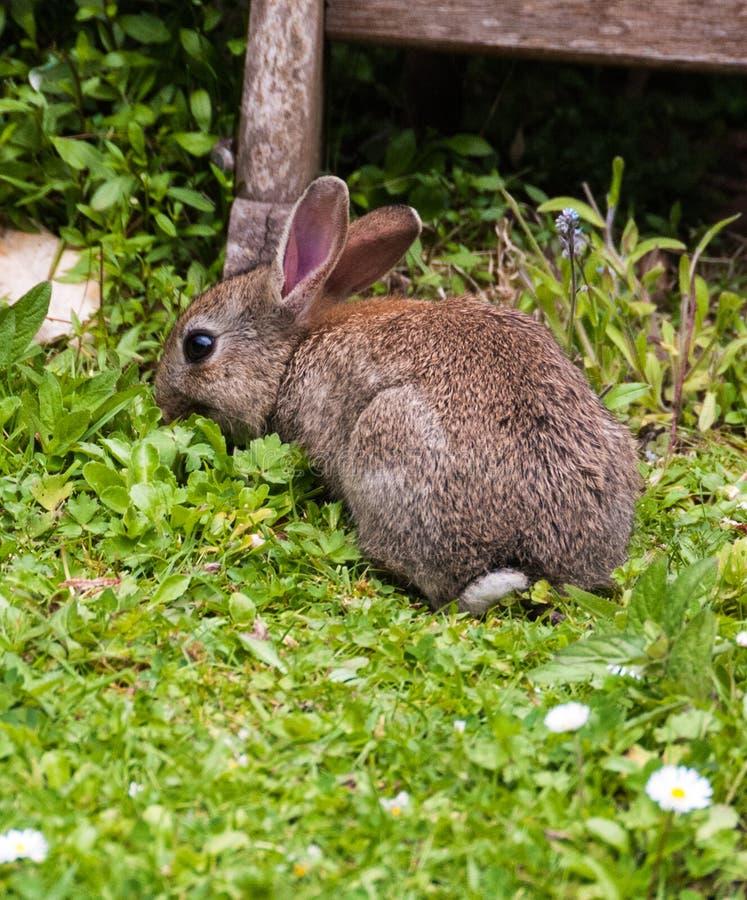 Behandla som ett barn kanin i en Devon trädgård fotografering för bildbyråer