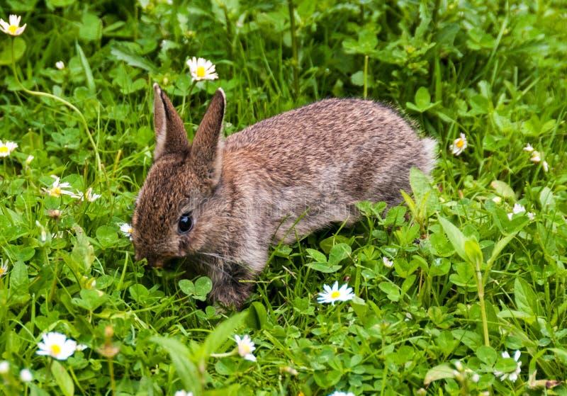 Behandla som ett barn kanin i en Devon trädgård royaltyfria foton