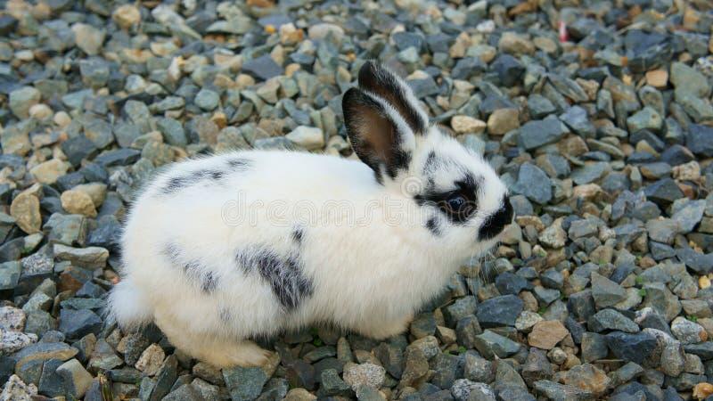 Behandla som ett barn kanin på stenar fotografering för bildbyråer