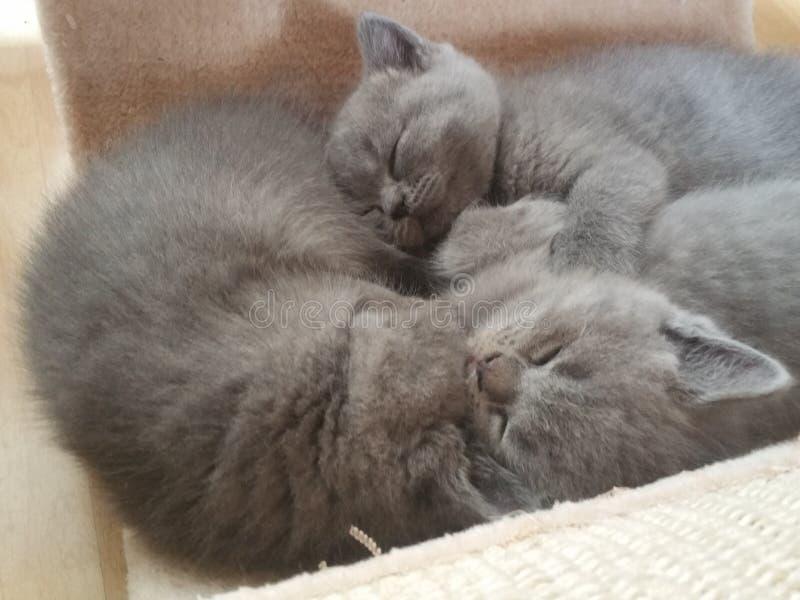 Behandla som ett barn katter sover royaltyfri fotografi