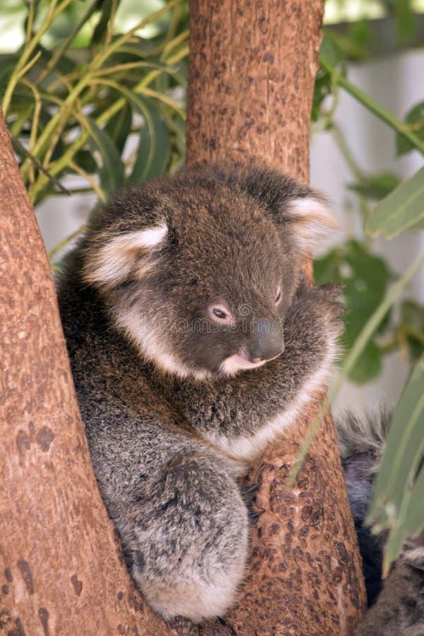 Behandla som ett barn koalan arkivfoton
