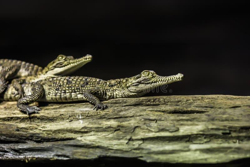 Behandla som ett barn krokodilen på en filial arkivfoto