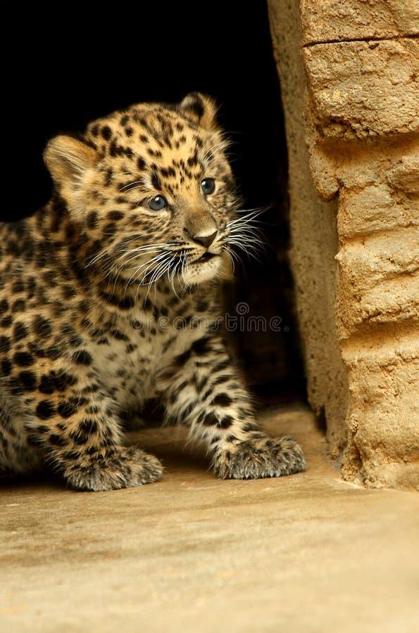 behandla som ett barn leoparden arkivfoton